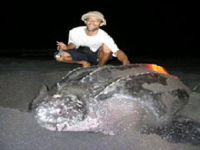 turtle_leatherback